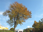 Autumn-tree-with-blue-sky