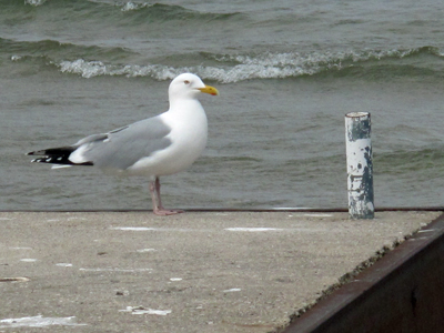 Seagull in Early Spring